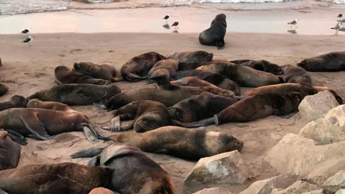 150 lobos marinos aparecen muertos en playa de BCS